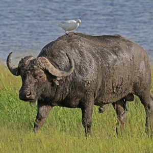 Penfam Tours and Safaris | African Buffalo - Penfam Tours