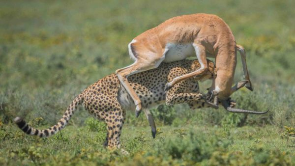 Best Cheetah Kill in action - Mara