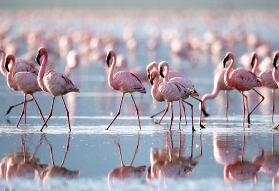 Flamingo at Lake Nakuru Kenya | Penfam Tours and Safaris
