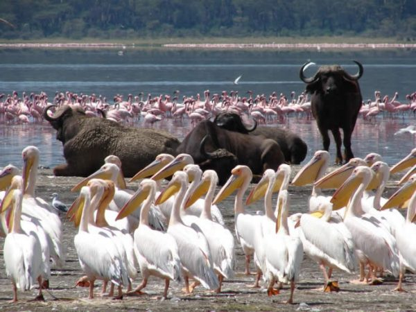 Lake Nakuru white pelicans and buffaloes with flamingos in the background | Penfam Tours and Safaris