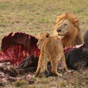 Male Lion_and Cub with the remains of a Buffalo meal