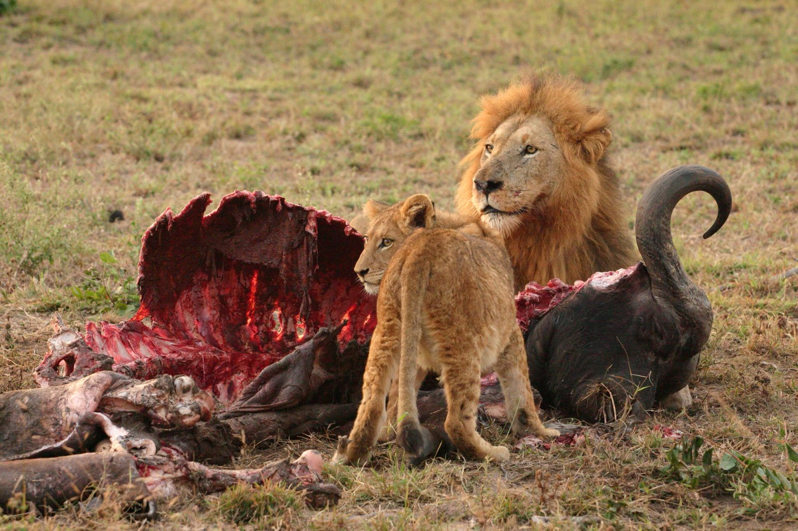 Kenya Safaris and Tours | Penfam Tours and Safaris | Male Lion and Cub with a Buffalo meal