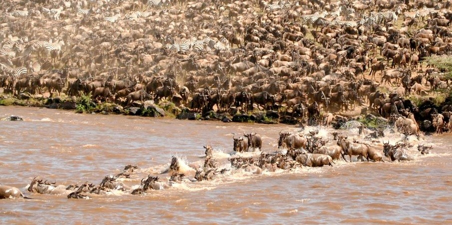 Wildebeest migration - Masai Mara Safari Wildebeest migration Kenya Tanzania Safaris