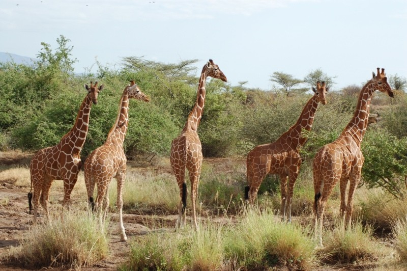 Reticulated giraffe - Samburu National Reserve | Kenya Tours and Safaris