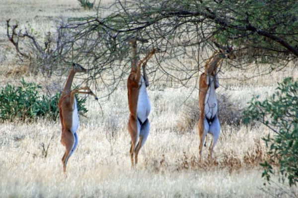 Antelopes at Samburu Game Reserve