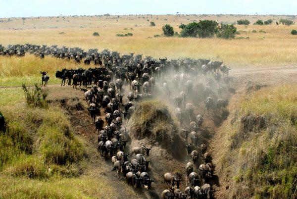 Masai Mara the wildebeest migration
