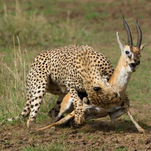 Masai Mara Safari - Best Cheetah Kill in action