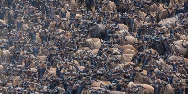 Wildebeest Migration Masai Mara