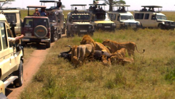 Kenya Safaris and Tours | Penfam Tours and Safaris | Lions with a kill