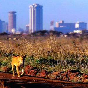 Lioness walking in Nairobi National Park