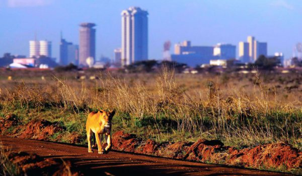 Lioness walking in Nairobi National Park | Kenya Tours and Safaris