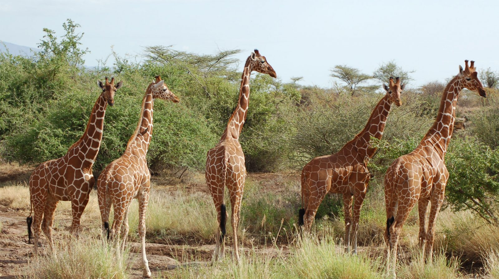 Kenya Safaris and Tours | Reticulated giraffe - Samburu National Reserve