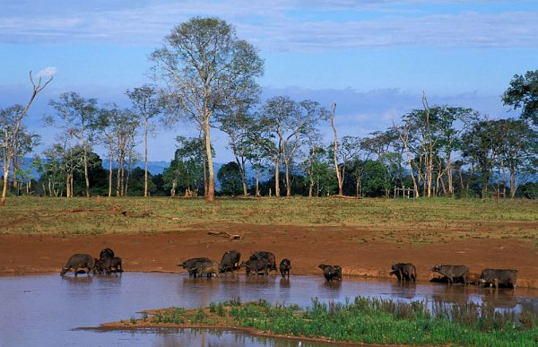Buffaloes drinking hole - Aberdare National Park