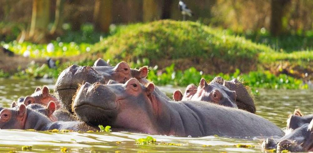 Hippos at Lake Naivasha
