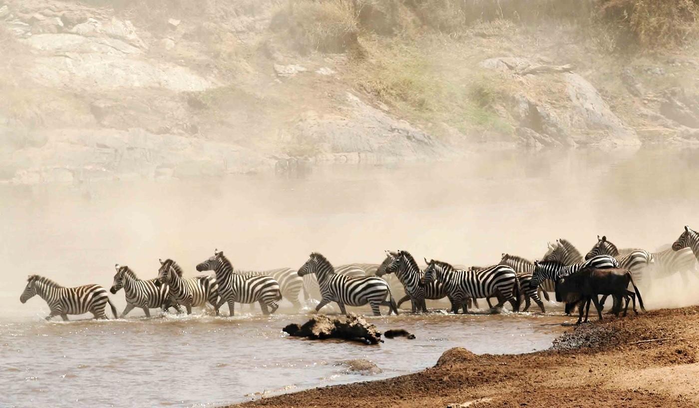 Masai Mara Safari Zebras in the Wildebeest migration Kenya Tanzania Safaris