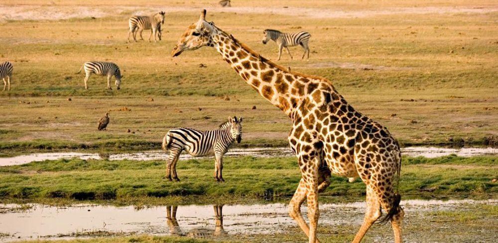 Masai Giraffe - Masai Mara Safari