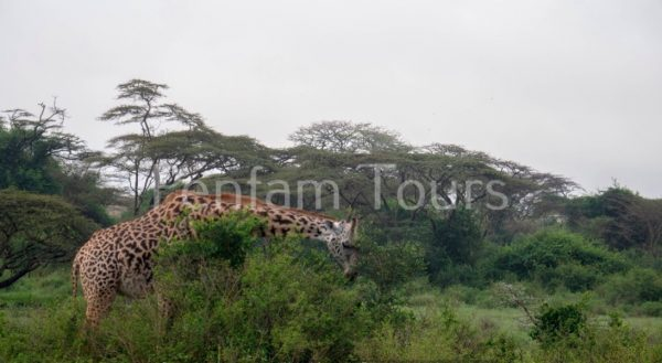 Masai giraffe in Nairobi National Park