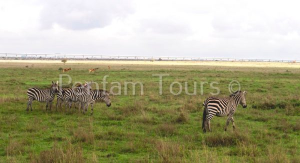 Nairobi National Park zebras