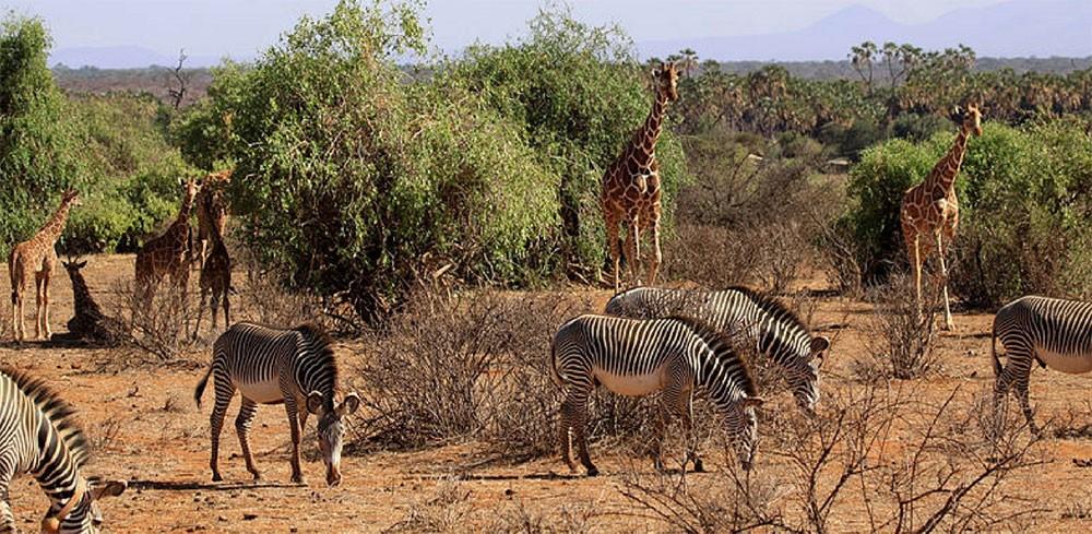 Grevy Zebra - Samburu National Reserve