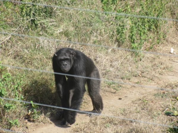 Baboon at Ol pejeta Conservancy Kenya Safari