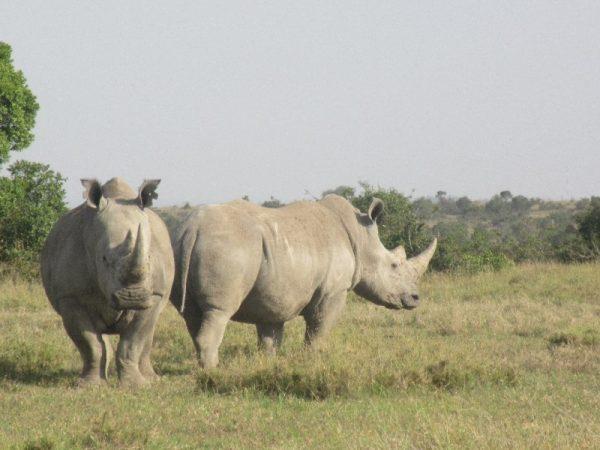 Rhinos at Ol pejeta Conservancy Kenya Safari
