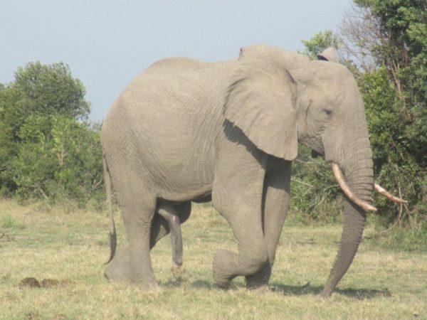 Elephant at Ol pejeta Conservancy Kenya Safari