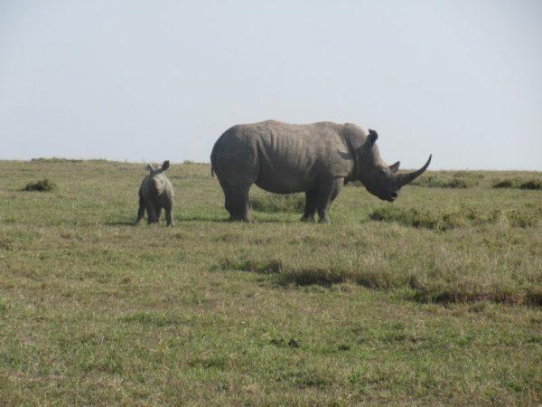 Rhino with baby at Ol pejeta Conservancy Kenya Safari
