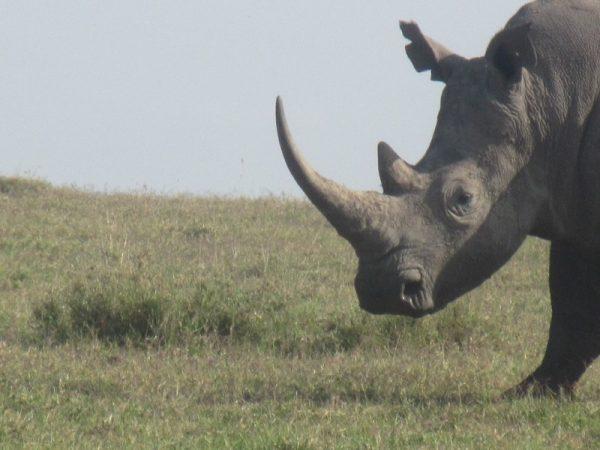Rhino at Ol pejeta Conservancy Kenya Safari