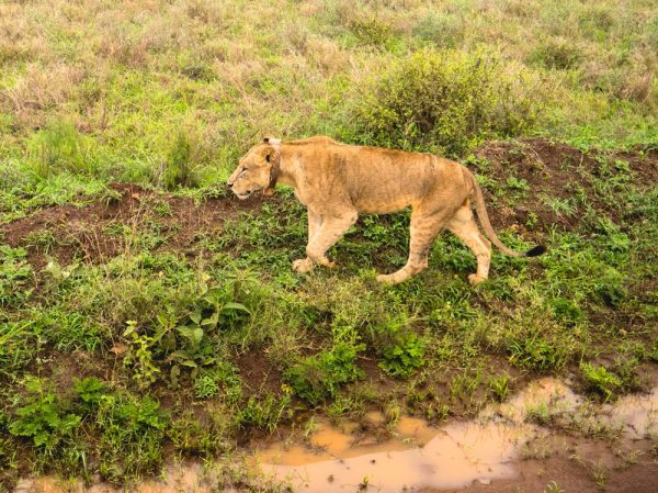 Penfam Tours and Safari 4x4 Kenya Safari Landcruiser Lioness