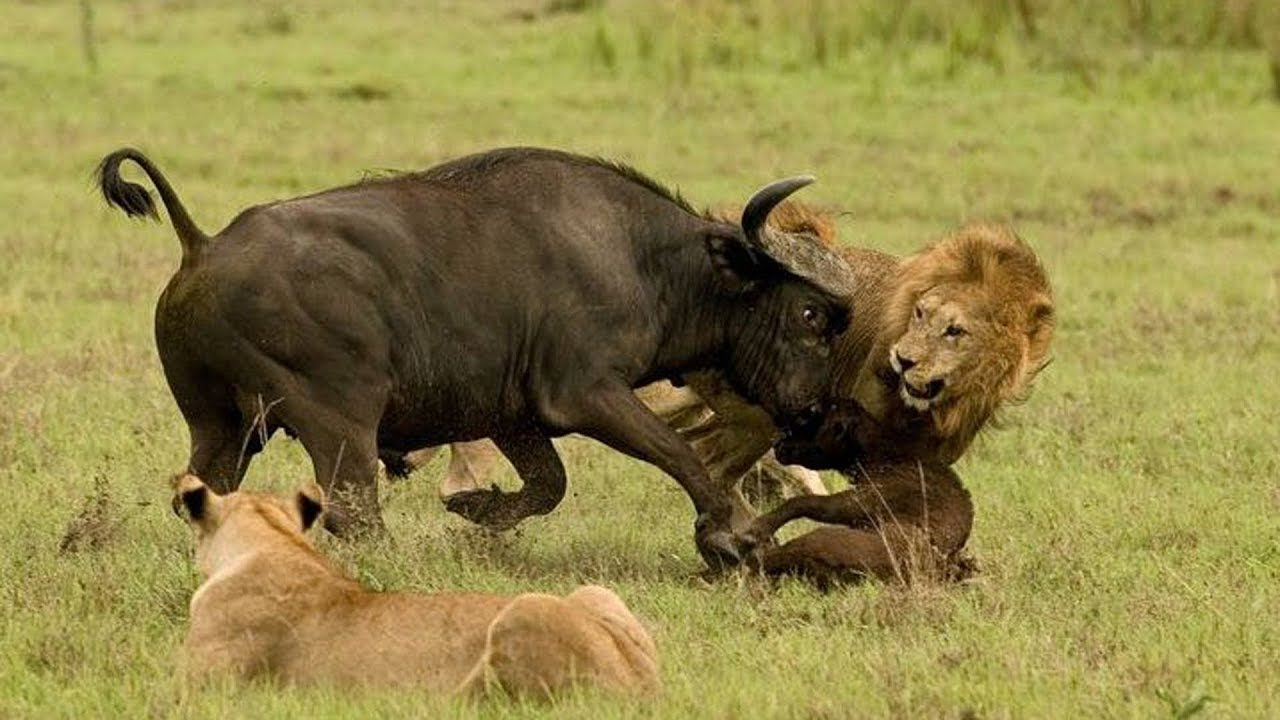 Kenya Safaris and Tours | Masai Mara - Mother buffalo protecting her cub
