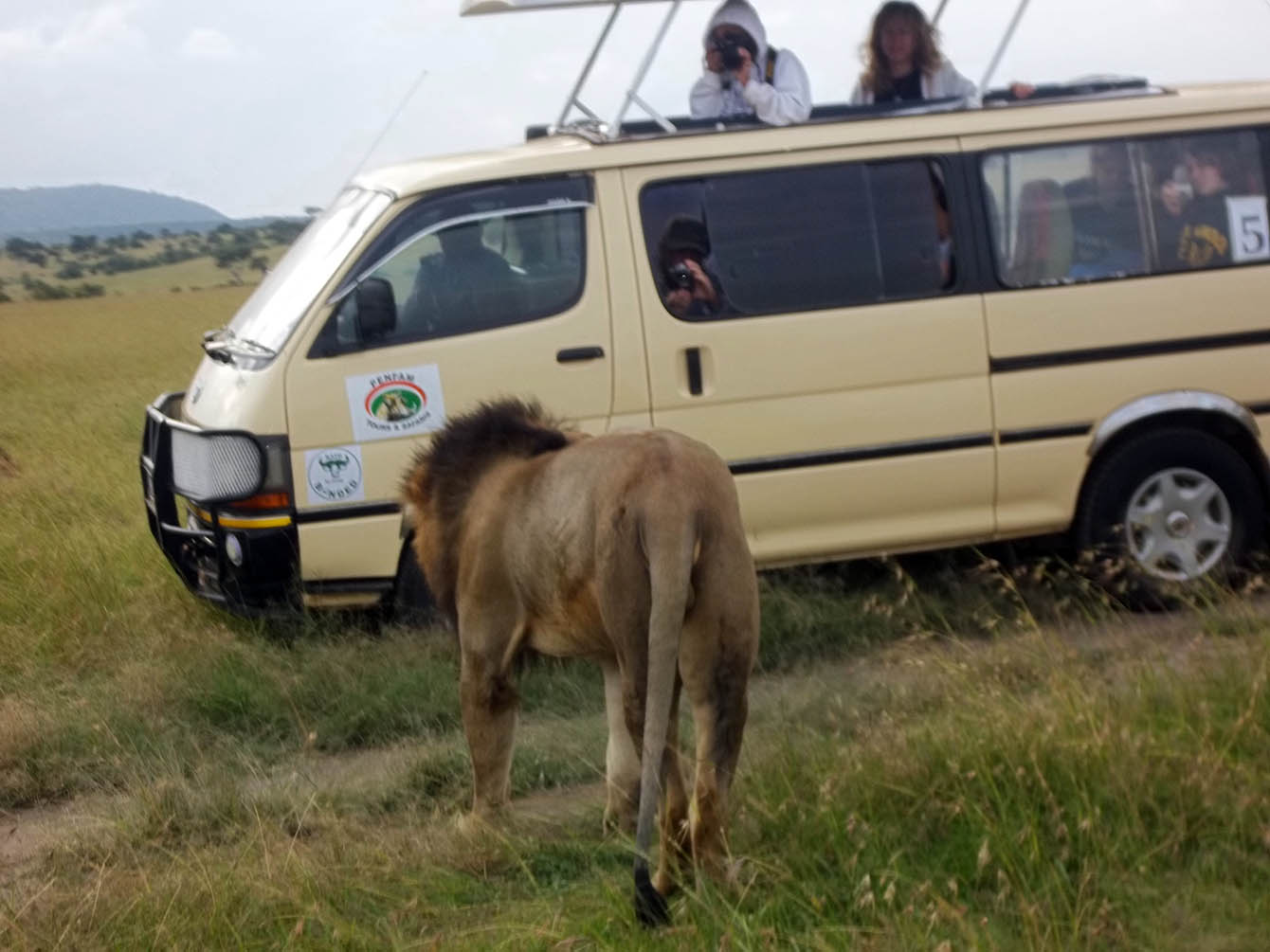 Kenya Safaris and Tours | Seregeti Lion - Game drive action